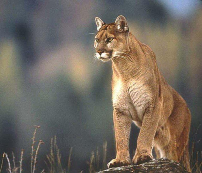 Puma Picture