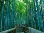 bosque bambu