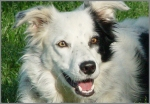chaser-border-collie-perro-entiende-palabras