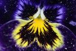 flor_violeta_gr