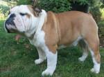 English-Bulldog-e1429885230340
