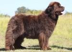 newfoundland-dog-e1429884265914