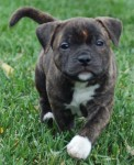 Staffordshire-Bull-Terrier-Brindle-Puppy-e1429877304638