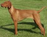 Vizsla-dog-e1429873487225