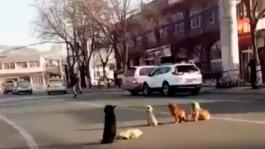 Cuatro-perros-cuidan-a-su-amigo-atropellado